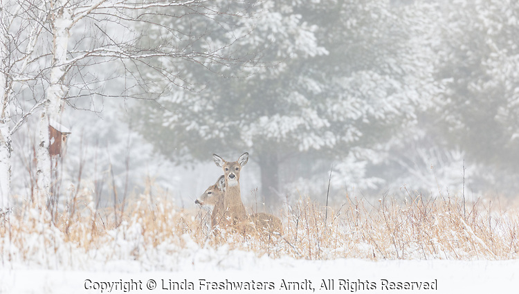 White-tailed fawns in the early morning fog.