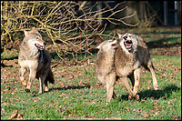 BNPS.co.uk (01202 558833)<br /> Pic: PhilYeomans/BNPS<br /> <br /> If you go down to the woods today...<br /> <br /> You will spot this pack of European wolves (Canis lupus lupus) - once native to Britain - that are settling in to a woodland enclosure at Longleat Safari Park in Wiltshire.<br /> <br /> The eight strong pack includes Alpha male Jango, mum Eliska and their six pups.<br /> <br /> Keeper Amy Waller said 'There's something truly special about seeing a species, which was once common in the UK, being back patrolling are woodland'.