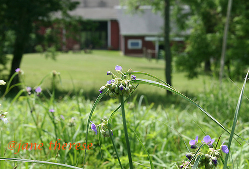Wild tradiscentia grow in a wildflower meadow, outside the converted barn, 1-bedroom 2-story living space of Karen and Boyce Budd of Erwinna, Pa., on Friday June 10, 2010. The couple rent out the space, as well as use for family holiday gatherings. Jane Therese For The New York Times