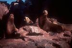 Sea lions, Baja, Mexico, Isla Espiritu Santo, Baja Sur, Gulfo de California, Sea of Cortez, Gulf of California, North America,.