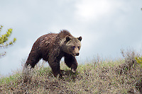 The Grizzly Bear known as White Claws at Lake Junction in  Yellowstone National Park.  Murdering tourists fed this bear which caused Yellowstone Rangers to have to kill this wonderful grizzly. RIP White Claws