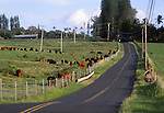 cattle in Hana