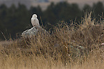 A snowy owl perches on a boulder in Montana.
