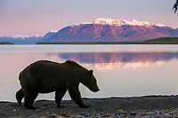 Brown bear walks along the shores of Naknek lake, Mount Katolinat, Katmai National Park, Alaska.