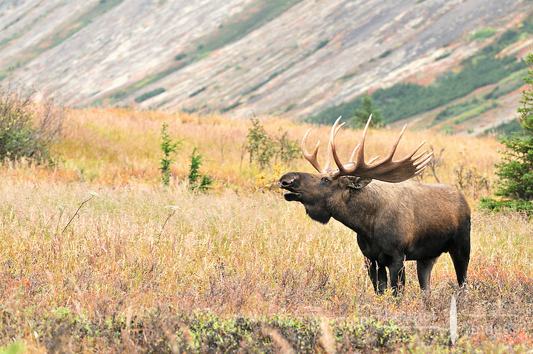 A bull moose calls during the fall rut in Chugach State Park.
