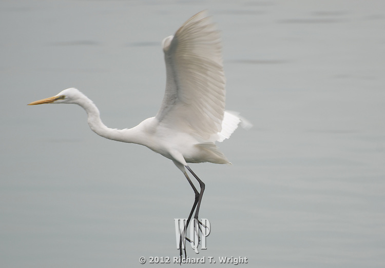 Great Egret, non-breeding, Hong Kong, Lin yeu mau