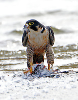 Adult peregrine falcon pulling feathers off kill
