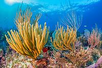 coral reef, Gardens of the Queen, Jardines de la Reina, Jardines de la Reina National Park, Cuba, Caribbean Sea, Atlantic Ocean