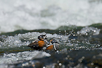 Harlequin Duck drakes (Histrionicus histrionicus) resting and grooming along fast flowing mountain stream.  Western U.S.  Spring.