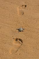 olive ridley sea turtle, Lepidochelys olivacea, vulnerable species, crawling on human footprints,  Padampeta Beach, Rushikulya Rookery, Odisha, India, Indian Ocean