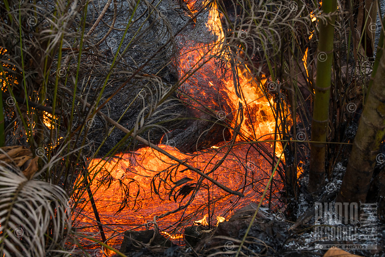 May 2018: Molten lava from the Kilauea Volcano eruption covers palm leaves and bamboo trees in its path, Leilani Estates, Puna, Big Island of Hawai'i.