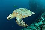 Green turtle (Chelonia mydas)  with schooling jacks (Cranax sexfasciatus) behind.