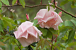BELLE OF PORTUGAL CLIMBING ROSE, ROSA 'BELLE PORTUGESE'