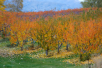 Fall colors shimmer in the sunlight making a photograph of an apple orchard almost look like a water color.