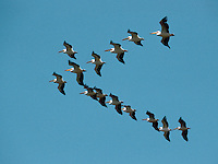 White Pelicans in flight - Pelecanus onocrotalus