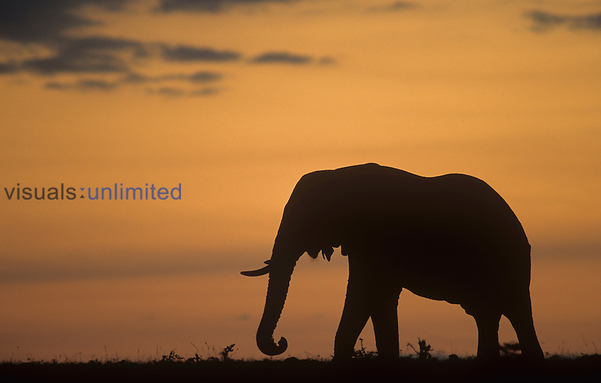 Silhouette of an African Elephant ,Loxodonta africana, at twilight on the African savanna.