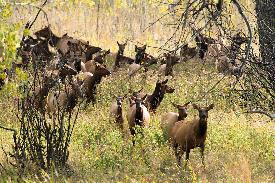 Cow elk emerge from the cottonwoods along the Missouri River at Slippery Ann Elk Viewing Area on the Charles M. Russell National Wildlife Refuge recently.