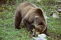 Grizzly bear (Ursus arctos) licking insects and/or ants off rock it has turned over,  Northern Rockies. June.