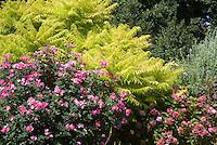 Rhus typhina 'Bailiger' aka 'Tiger Eyes' Staghorn Sumac shrub with golden yellow cutleaf foliage and Rosa 'Pink Knockout' rose aka 'Radcon' and Hydrangea macrophylla 'Pink Beauty' Bigleaf Hydrangea