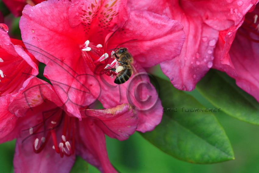 A forager at work on a rhododendron flower. On a flight, the bee will visit only one plant species but can visit as many as 500 flowers. Foragers mark their flowery territory by depositing a substance which will repel bees from other colonies on flowers they visit.