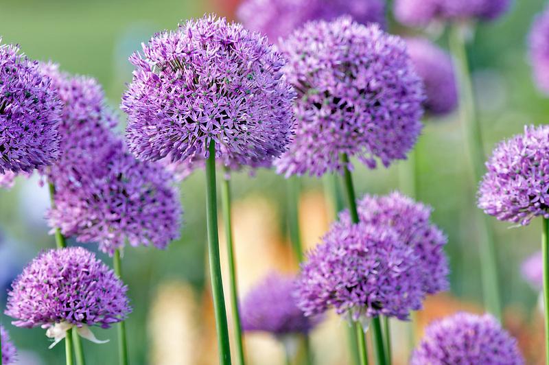 Flowering Onion. Schreiner' Iris Gardens. Salem. Oregon