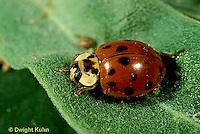 1C01-047z  Asian Ladybug, Harmonia axyridis