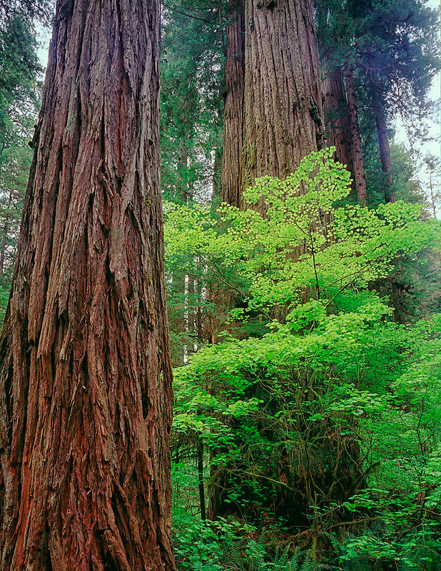 Large Redwoods with Vine Maples. Redwood National Park, California.