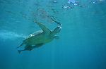 A Green Sea Turtle swimming underwater , the animal's carapace shows numerous scratches and scars. A remora fish is attached tot he turtle's belly using is sucking disc.<br /> Une grosse tortue a la carapace couverte de cicatrices nage tranquillement sans s occuper de nous. Un poisson ventouse, un remora, est colle sur son ventre..
