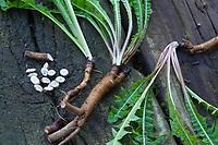 Löwenzahn-Wurzeln, Löwenzahnwurzeln, Löwenzahn-Wurzel, Löwenzahnwurzel, Wiesen-Löwenzahn, Radix Taraxaci, Taraxaci radix, Gemeiner Löwenzahn, Wurzel, Wurzeln, Wurzelstock, Pfahlwurzel, Kuhblume, Taraxacum officinale, Taraxacum sect. Ruderalia, Dandelion, root, roots, root stock, Dent de lion, Wurzel-Ernte, Wurzelernte im Herbst