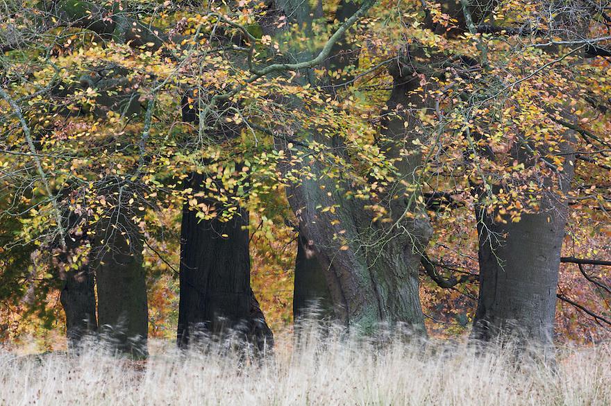 Beech (Fagus sylvatica), Klampenborg Dyrehave, Denmark. Fenced reserve enclosure.