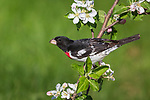 Male rose-breasted grosbeak perched in a flowering apple tree.
