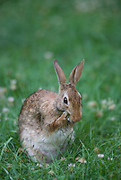 Eastern Cottontail Rabbit; Sylvilagus floridanus,grooming face;  PA, Philadelphia