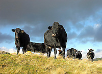 Limousin cross suckler cows grazing the higher ground at Greystoke, Penrith, Cumbria. Ghyll Cambon.