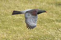 Chatham Pigeon - Hemiphaga chathamensis