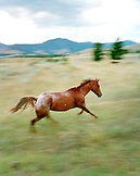 USA, Montana, horse running in the field, Gallatin National Forest, Emigrant