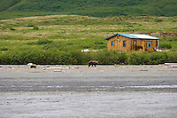 Sow and cub Brown Bear walk past a cabin at McNeil River State Game Sanctuary. Summer in Southwest Alaska.