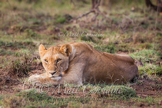 Lioness resting on short grass keeping watch in the Masai Mara Reserve, Kenya, Africa (photo by Wildlife Photographer Matt Considine)