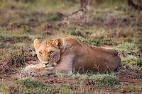 Lioness resting on short grass keeping watch in the Masai Mara Reserve, Kenya, Africa (photo by Wildlife Photographer Matt Considine)