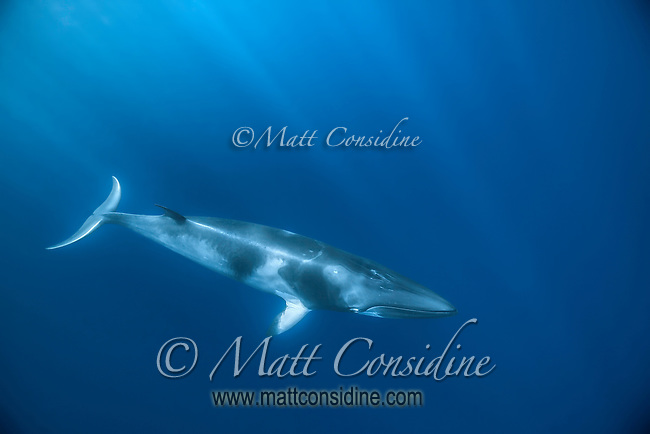 An incredible creature and an exemplar of the form follows function ideal. (Photo by Wildlife Photographer Matt Considine)