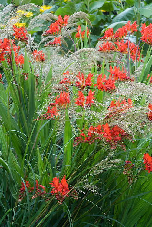 Crocosmia Lucifer red flowers planted amid ornamental grass Stipa calamagrostis in bloom