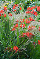 Crocosmia Lucifer red flowers planted amid ornamental grass Stipa calamagrostis in bloom