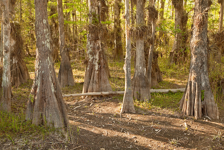 Bald cypress trees (Taxodium distichum) along the Loop Road during dry season in Big Cypress National Preserve, Florida