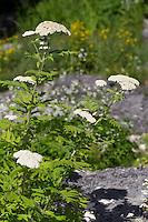Großblättrige Wucherblume, Schafgarben-Margerite, Großblättrige Straußmargerite, Tanacetum macrophyllum, Chrysanthemum macrophyllum, rayed tansy, white flowered tansy