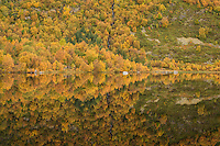Colorful autumn forest landscape reflection in Lake, Lofoten Islands, Norway