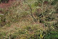Japanese Maples, Washington