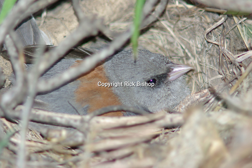 Gray-Headed Junco seen nested  on the ground under some fallen tree branches in southern Utah.