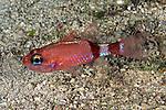 Apogon robinsi, Roughlip cardinalfish, Bahamas, Exuma