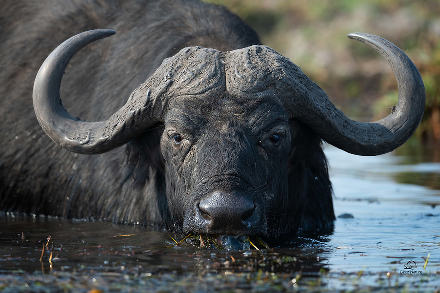 """Big male Cape Buffalo (Syncerus caffer) takes a pause from feeding on aquatic plants to toss us the """"You Owe Me Money"""" stare. These guys get big - around 2,000 pounds - and they get our vote as Africa's Most Intense animal. They are unpredictable and don't back down to anyone, including Lions and Hyenas. The bases of the horns on an adult male come very close together, forming a shield referred to as a """"boss"""" in the center of the forehead. This guy's boss is pretty impressive."""