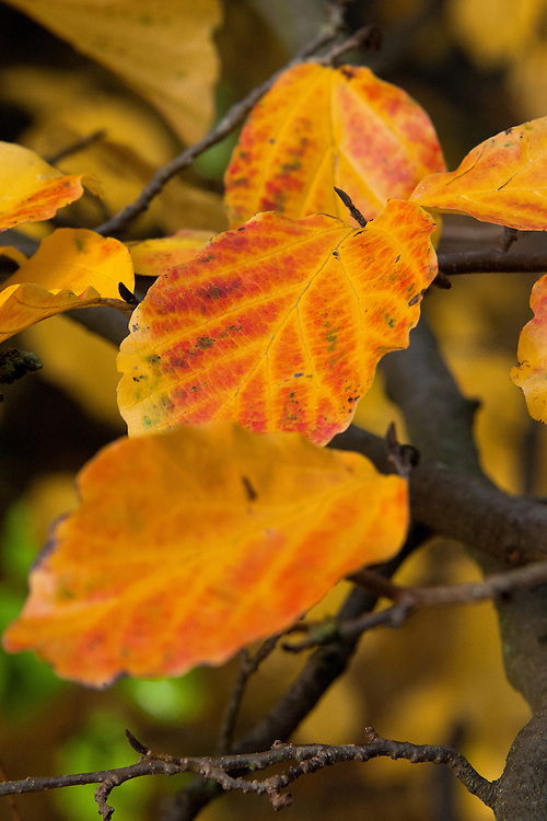 Yellow-orange autumn leaves of the Persian ironwood tree (Parrotia persica), early November.