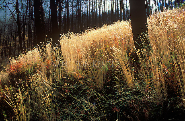 Blue Mountain burn area. Autumn grasses in sunlight